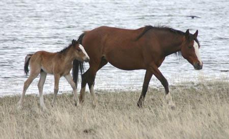 Срок беременности лошади